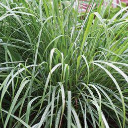 herb lemongrass
